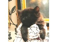 LAST CHANCE 2 Gorgeous little baby kittens ready to go to their new homes NOW!