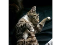 1yr old Bengal x tabby cat