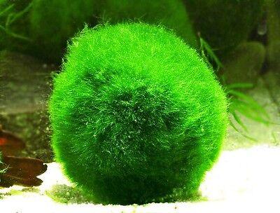 Marimo Moss 200 Balls 1.6 inch (4cm) Cladophora Live Plant Aquarium Tank In USA