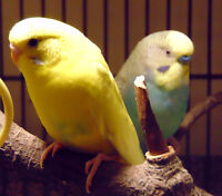 2 budgies, free to experienced keeper