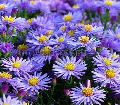100 grams 60,000 Aster Alpinus Seeds Stawsort Alpine Dwarf Ground Cover Flower
