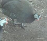 Guinea Hatching Eggs