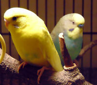 2 rehabbed budgies, free to experienced keeper