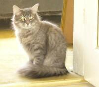 "Young Female Cat - Domestic Medium Hair: ""Sasha"""