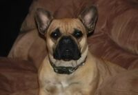 Amazing French Bulldog Female-Due to heat in August.