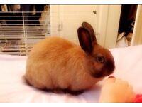 Baby house rabbit