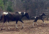 2010 APHA black/white mare with un registered colt at side