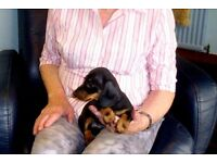 Black and Tan miniature smooth haired dachshund puppies