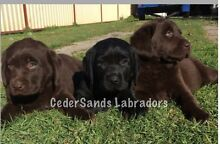 Labrador pup registered with papers Woolgoolga Coffs Harbour Area Preview