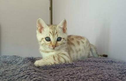 Pedigree Snow spotted Bengal kitten Penrith Penrith Area Preview