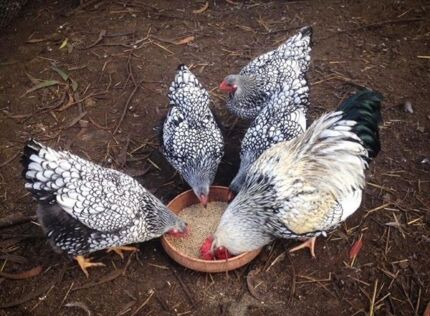 Fertile Silver Laced Wyandotte eggs  Colac Colac-Otway Area Preview