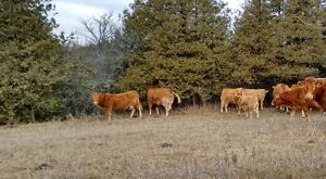 Limo cows w/ CharX calves by side Peterborough Peterborough Area image 4