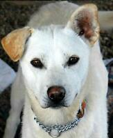 "Young Female Dog - Husky: ""Jonquil"""