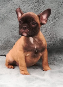 Pure Breed French Bulldog Litter ready to go! 6 left!