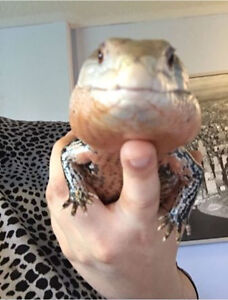 Blue tongue skink looking for forever home