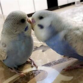 Gorgeous pair of baby budgies for sale with feed