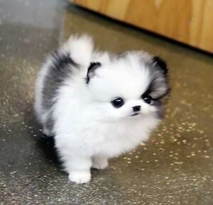 Looking for Tea Cup Pomeranian Puppy