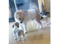 Jack Russel/Platterdale terrier puppies- forever homes