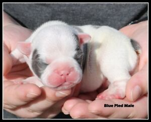 CKC reg French bulldogs BC born and raised not imports