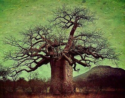 Adansonia Digitata - African Baobab Tree - Excellent Bonsai - 10 Seeds Baobab Tree Seeds