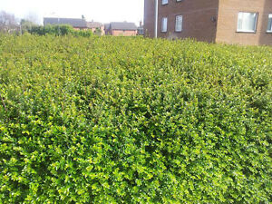 25-Lonicera-Nitida-Hedging-Box-Honeysuckle-Tree-Plants