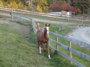 2011 HANOVERIAN REG. CANADIAN SPORT HORSE  $19,000 Stratford Kitchener Area image 2