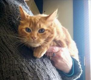 "Young Male Cat - Domestic Medium Hair: ""Dougal"""
