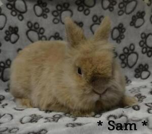 "Young Male Rabbit - Angora Rabbit: ""Sam"""