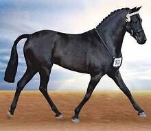 RIDING PONY STALLION AND BROODMARES FOR SALE Nundle Tamworth Surrounds Preview