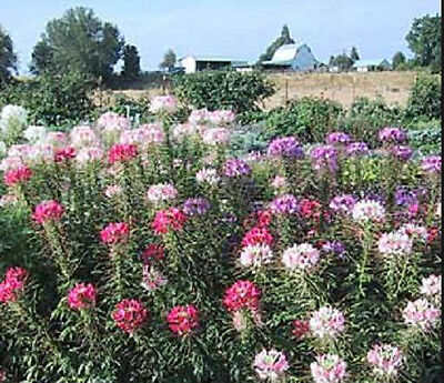 Cleome Spider Flower 50 Seeds Mixed Colors  Butterflies Hummingbirds Beautiful !](Colorful Spider)