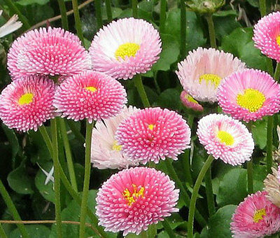DAISY ENGLISH Bellis Perennis - 5,000 Bulk Seeds (Bulk Daisy Seeds)