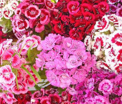SWEET WILLIAM Dianthus Barbatus - 10,000 Bulk Seeds