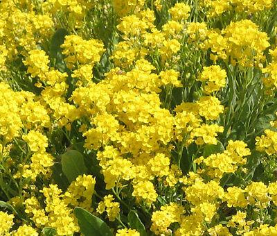Alyssum Basket Of Gold Perennial Aurinia Saxatilis   2 500 Bulk Seeds