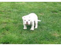 Beautiful Chunky Old Tyme English Bulldog Puppy All White