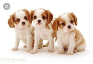 Please contact- looking for cavalier King Charles spaniel puppy