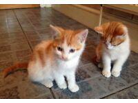 Kittens for sale, 3 light ginger and white kittens and two dark ginger and white for sale £20 each