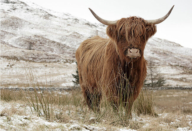 Landscape Colour Highland Cow Art Print Poster High land Cattle Cow Poster