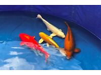 Japanese Koi Collection - High-grade A++ (see VIDEO)