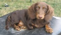 Looking for chocolate/tan female long hair doxie