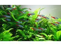 neon tetra black neon various tropical fish £1