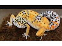 3 leopard geckos