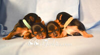 Purebred Champion sired Yorkshire Terrier puppies are here!