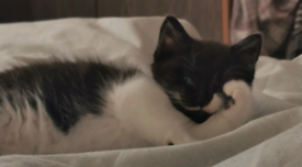 1 male rainbow kitten
