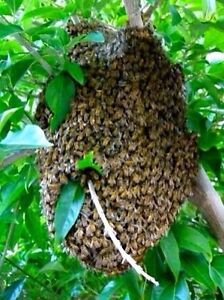 Free bee swarm removal Mount Barker Mount Barker Area Preview