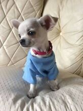 WANTED: Chihuahua puppy Merriwa Wanneroo Area Preview