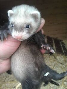 WANTED male ferret ! Baulkham Hills The Hills District Preview