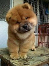 Chow Chow Puppy - Female Rowville Knox Area Preview