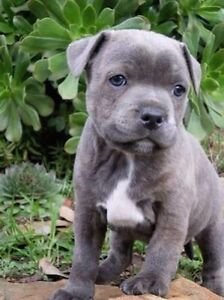 Looking to buy PURE Blue nose English staffy puppies Melbourne CBD Melbourne City Preview