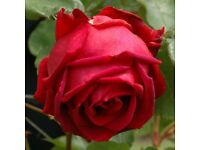 'Ena Harkness' Fragrant Hybrid Tea Rose