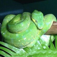 Female green tree Python Beenleigh Logan Area Preview